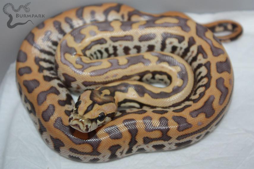 Pearl Granite Burmese Python