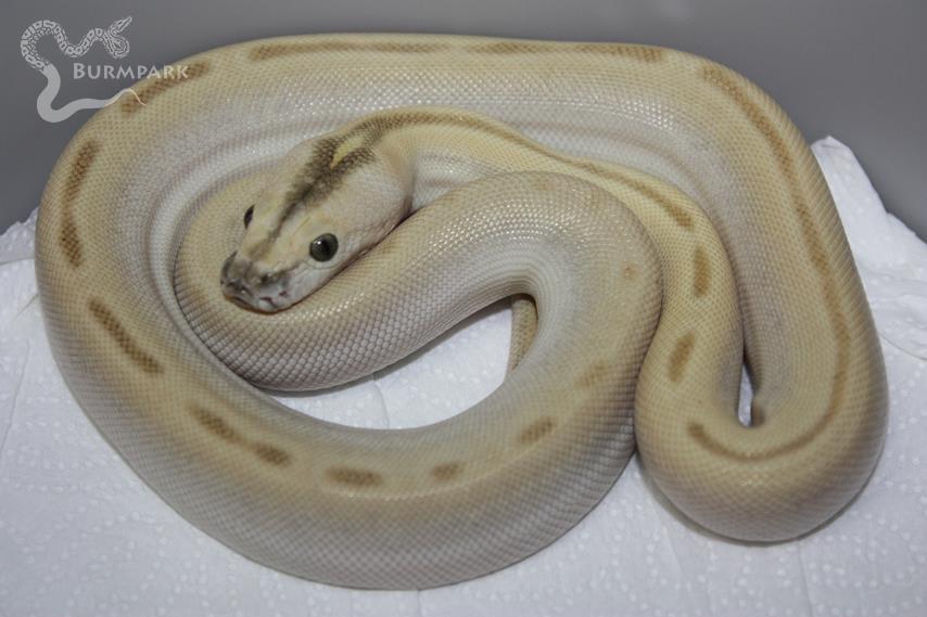 Albino Green Granite Burmese Python